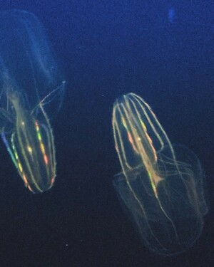 Saw these comb jellies at the aquarium 😱😍. Planktonic ctenophores produce a rainbow effect, which is not caused by bioluminescence but by diffraction, the scattering of light, as the cilia on the combs beat...Cutie little ravers..
